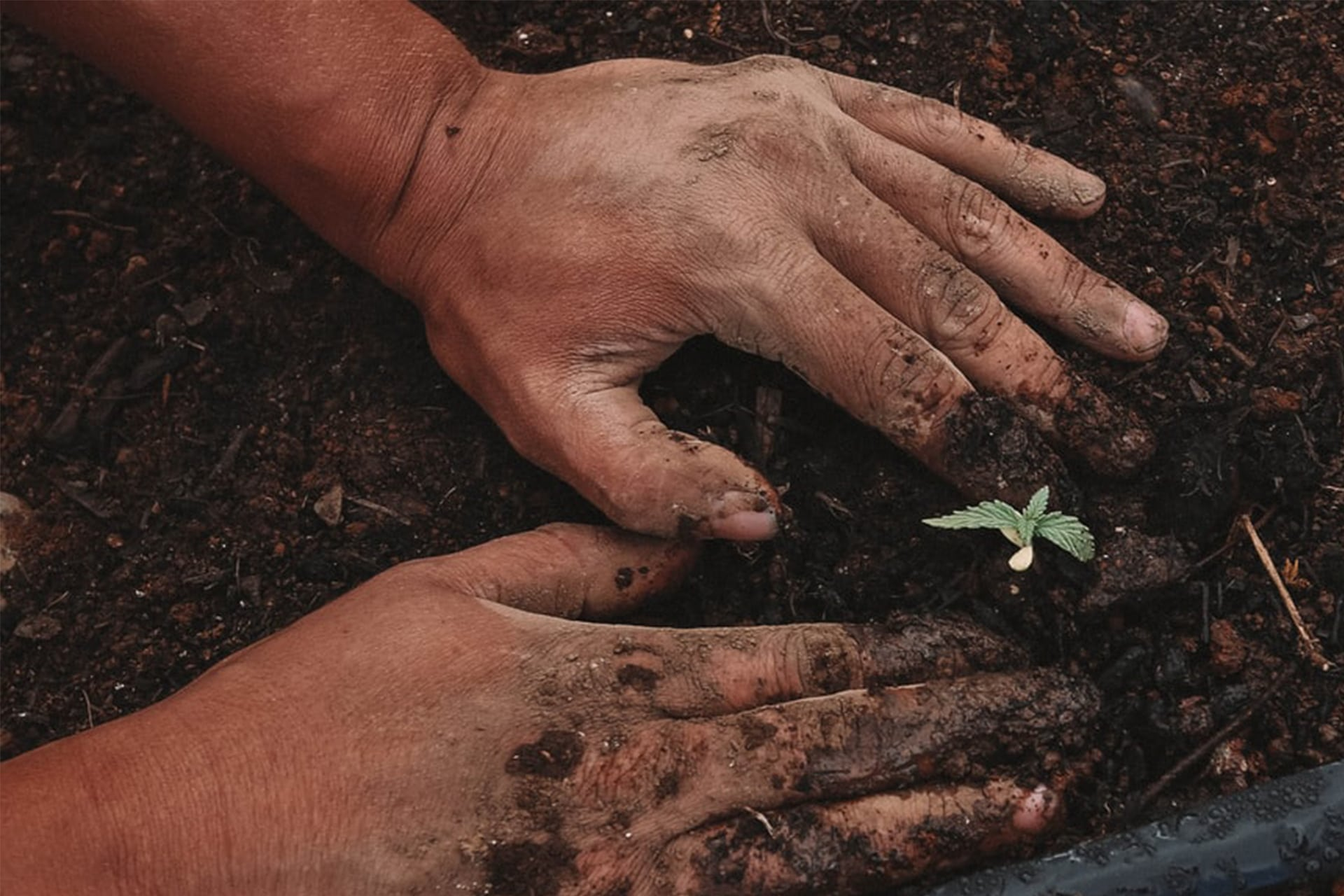cultiver-graines-de-cbd
