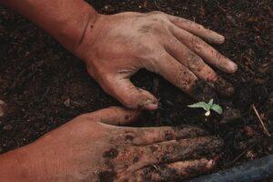 faire-pousser-des-graines-de-cbd