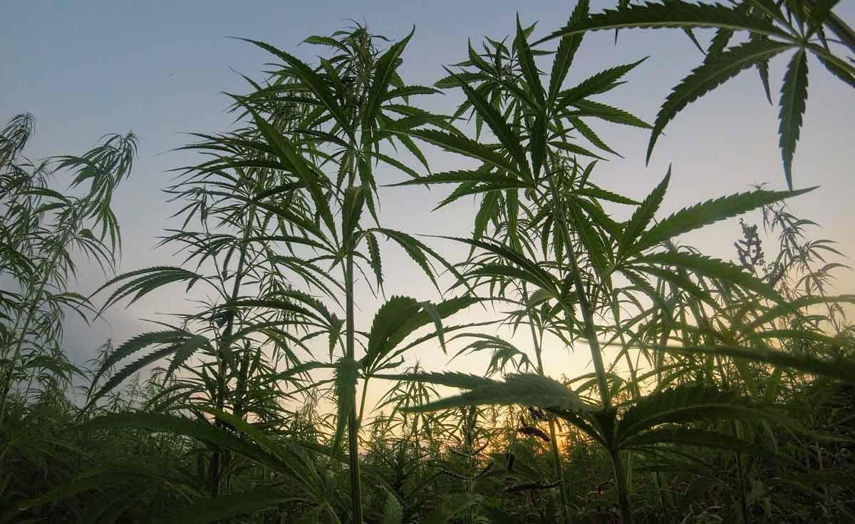le lexique du cannabis formes