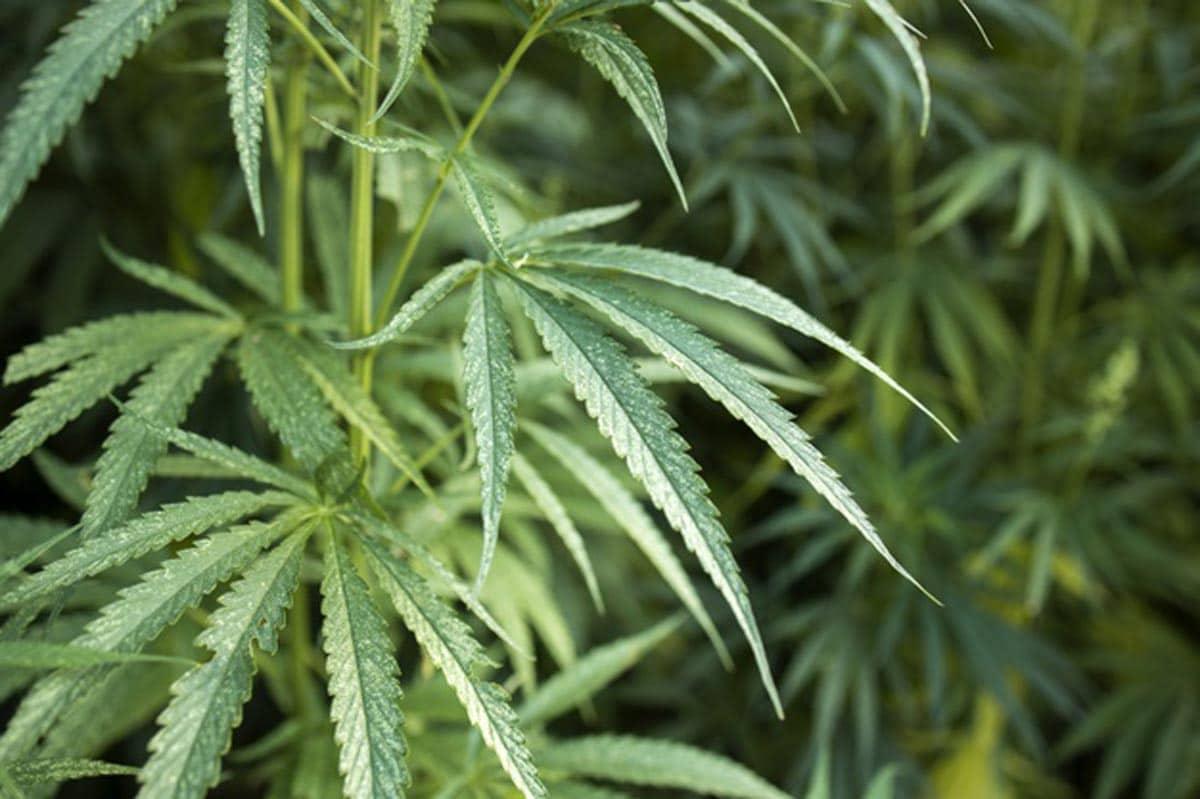 feuilles-cannabis-chanvre-pour-concept-medecine-