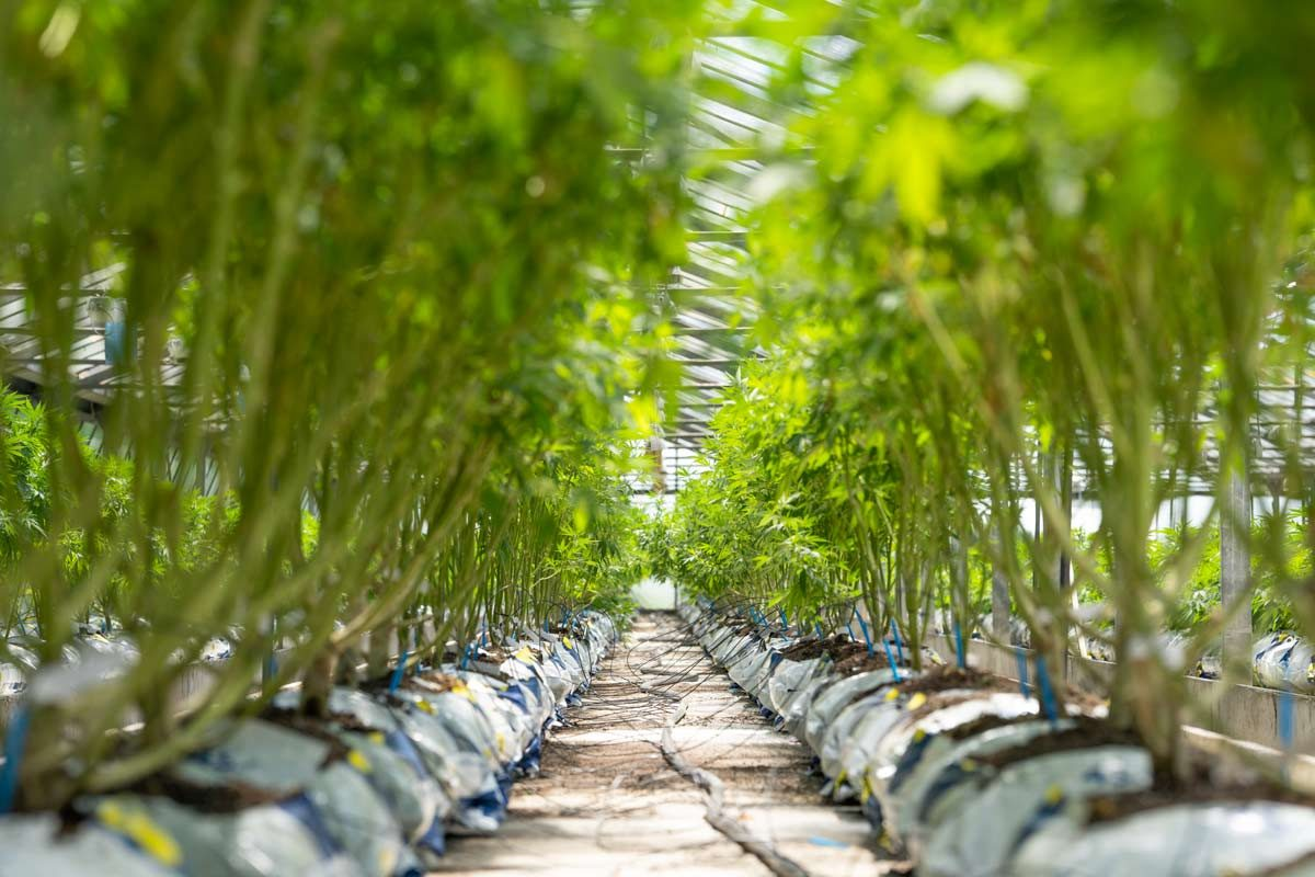 les differences entre cbd indoor outdoor et green house